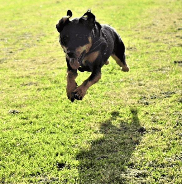 Dog running