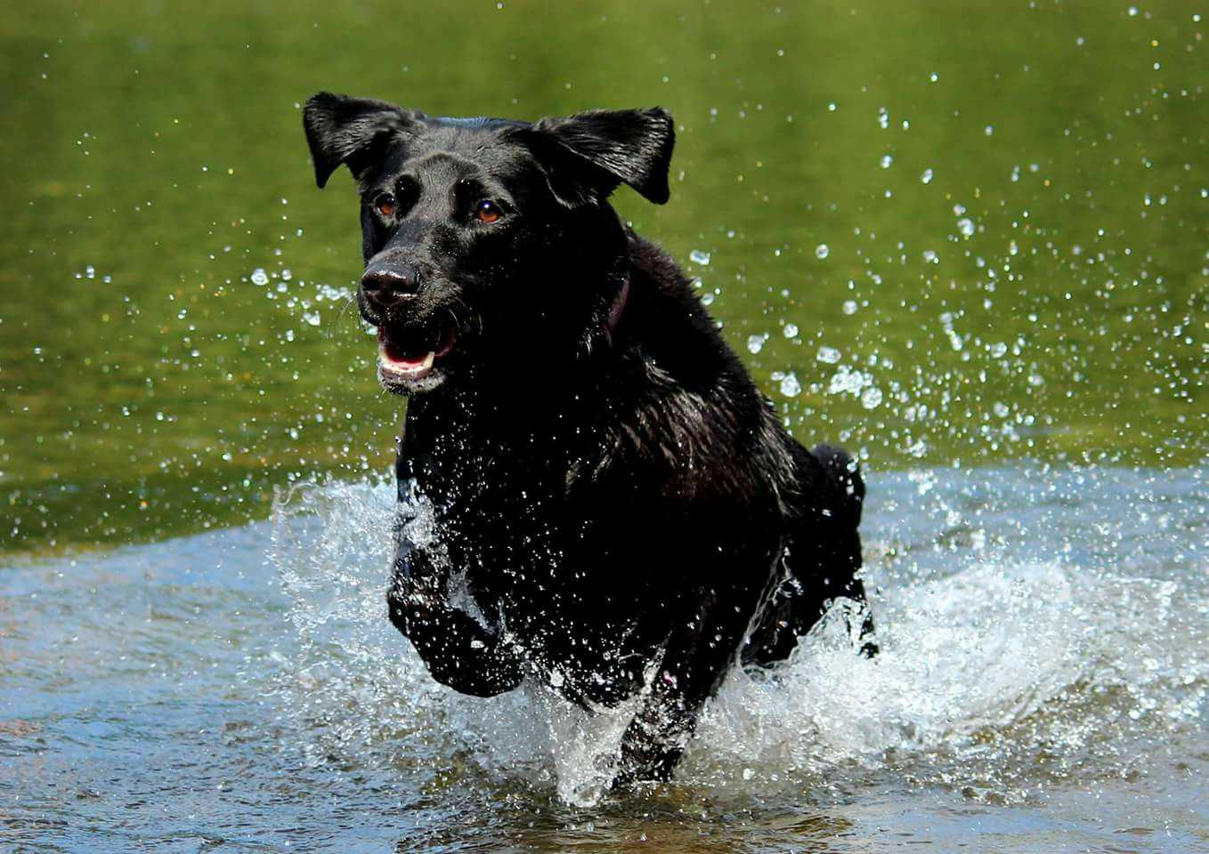 Dog running through water